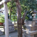 藤神稲荷神社 藤の木