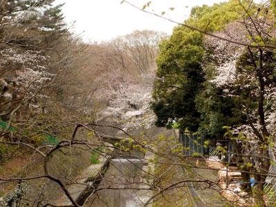 大宮八幡桜まつり005