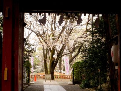 大宮八幡桜まつり006